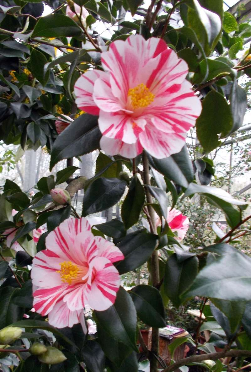 Camellia - Kamelien - Seite 2 Kameli18