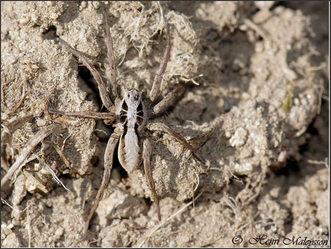 Araignée des landes : [Alopecosa striatipes]  (Hogna radiata) Arai-c10