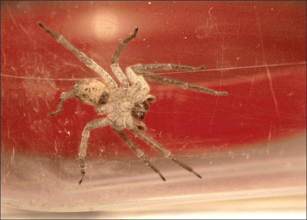 Zoropsis spinimana ... Imgp9211