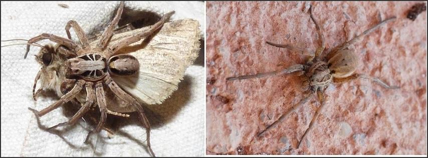 Araignée des landes : [Alopecosa striatipes]  (Hogna radiata) Lycosi10