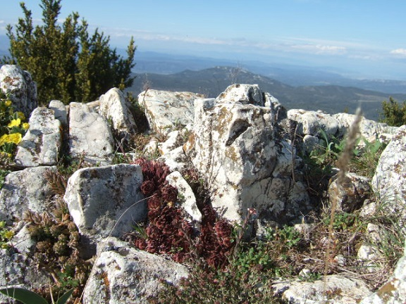 Sempervivum calcareum - joubarbe du calcaire Dscf0010