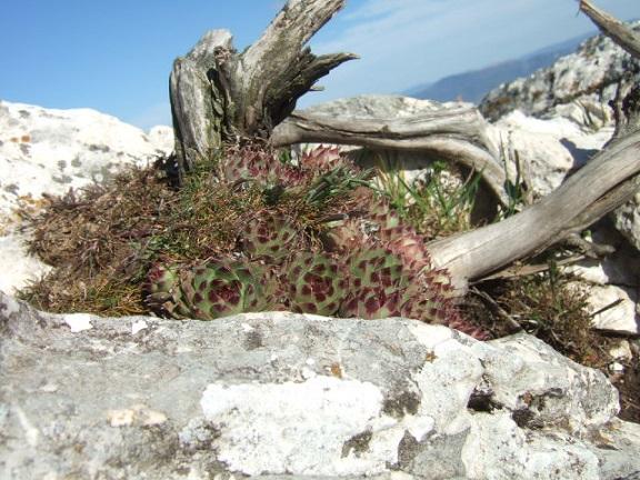 Sempervivum calcareum - joubarbe du calcaire Dscf0110