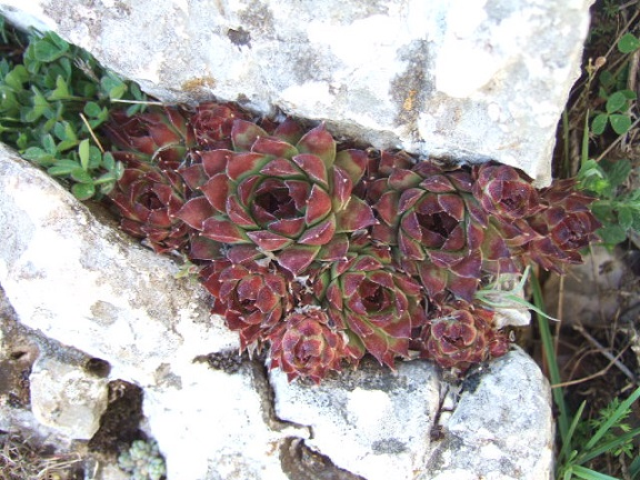 Sempervivum calcareum - joubarbe du calcaire Dscf0111