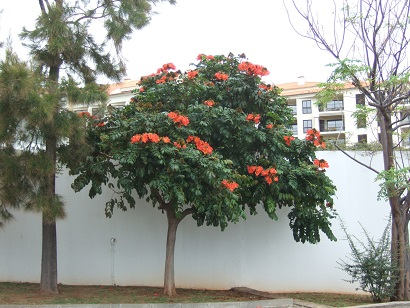 Spathodea campanulata - tulipier du Gabon Dscf0611
