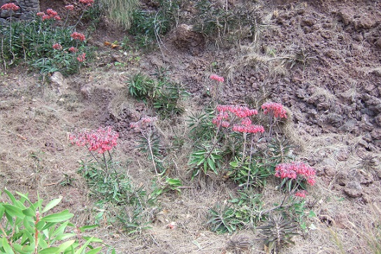 Bryophyllum x houghtonii (= Kalanchoe x houghtonii- Dscf0711