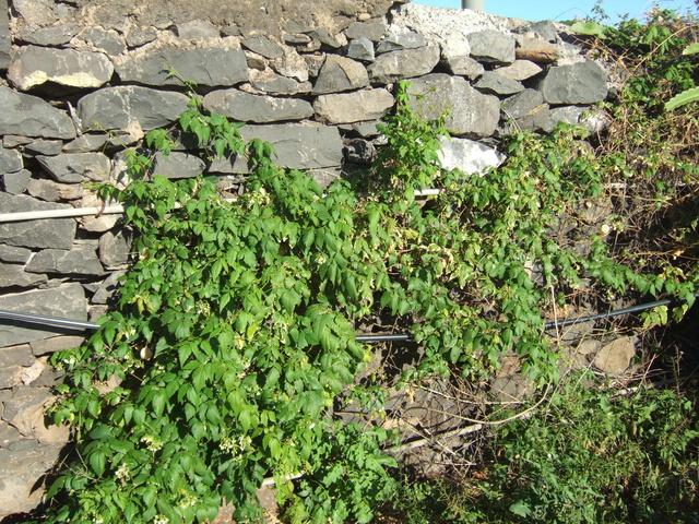 Cardiospermum halicacabum - cardiosperme Dscf0713