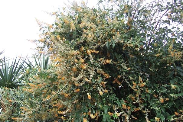 buddleia - Buddleja madagacariensis - buddléia de Madagascar Dscf0722