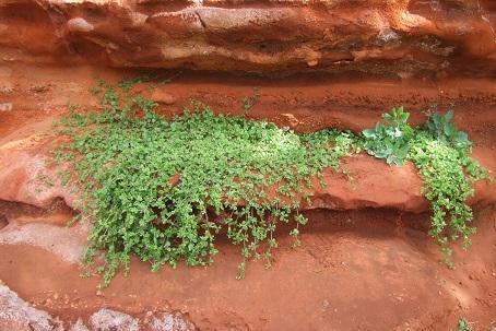 Aptenia cordifolia = Mesembryanthemum cordifolium Dscf0810