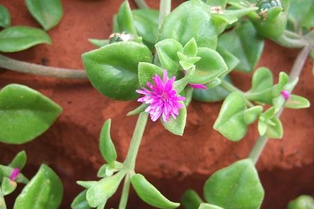 Aptenia cordifolia = Mesembryanthemum cordifolium Dscf0811