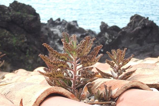 Bryophyllum x houghtonii (= Kalanchoe x houghtonii- Dscf0814