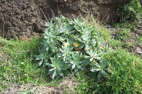 Echium candicans - vipérine de Madère Dscf1013