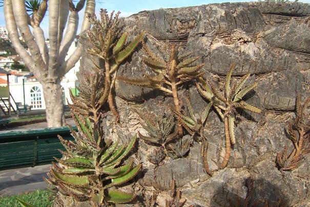 Bryophyllum x houghtonii (= Kalanchoe x houghtonii- Dscf1310