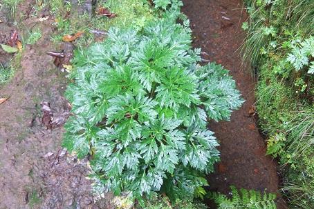 Geranium maderense - géranium de Madère - Page 3 Dscf1410