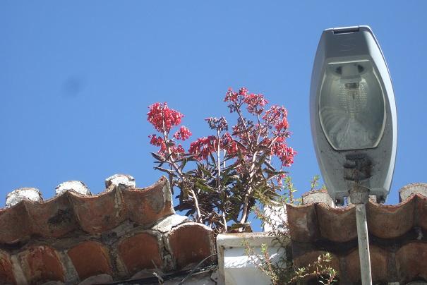 Bryophyllum x houghtonii (= Kalanchoe x houghtonii- Dscf1512