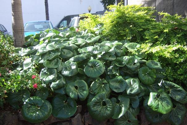 Farfugium japonicum = Ligularia kaempferi - Page 4 Dscf1513