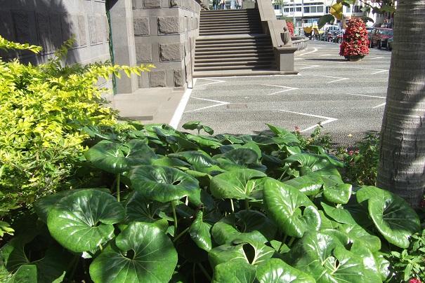Farfugium japonicum = Ligularia kaempferi - Page 4 Dscf1514