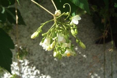 Cardiospermum halicacabum - cardiosperme Dscf1617