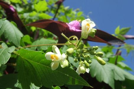Cardiospermum halicacabum - cardiosperme Dscf1618