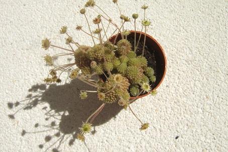 Monanthes polyphylla Dscf1711