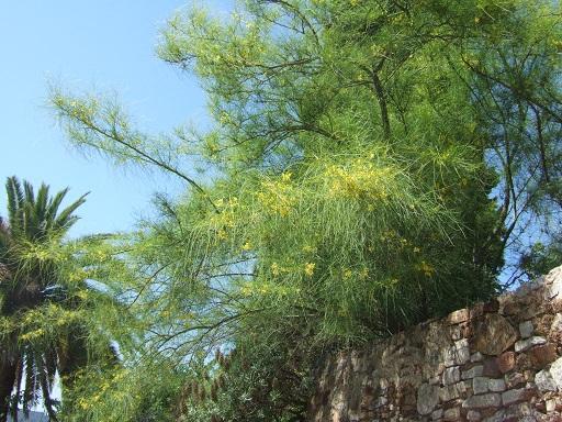Parkinsonia aculeata - épine de Jérusalem Dscf5010