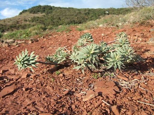 Euphorbia nicaeensis - euphorbe de Nice Dscf9610