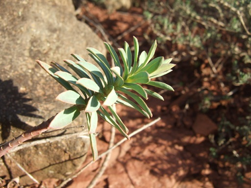 Euphorbia nicaeensis - euphorbe de Nice Dscf9611