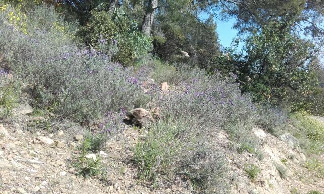 Lavandula stoechas - lavande à toupet Rps20102