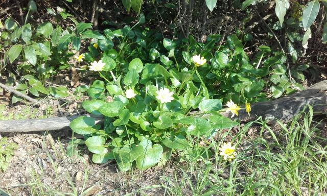 Ficaria verna (= Ranunculus ficaria) - ficaire Rps20119