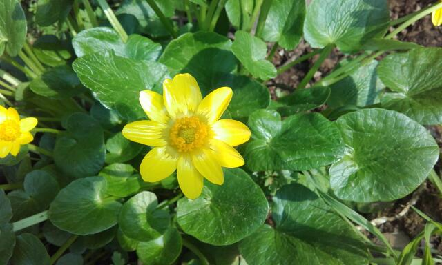 Ficaria verna (= Ranunculus ficaria) - ficaire Rps20120