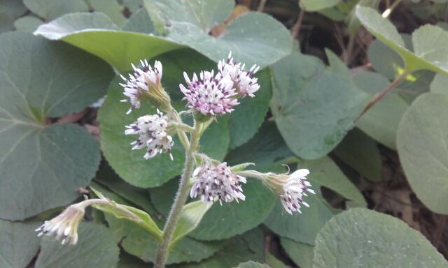 Petasites pyrenaicus (= Petasites fragrans) - héliotrope d'hiver Rps20133