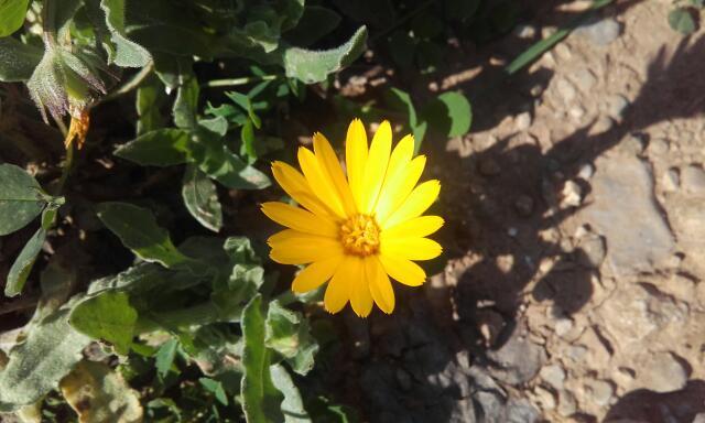 Calendula arvensis - souci des champs Rps20135