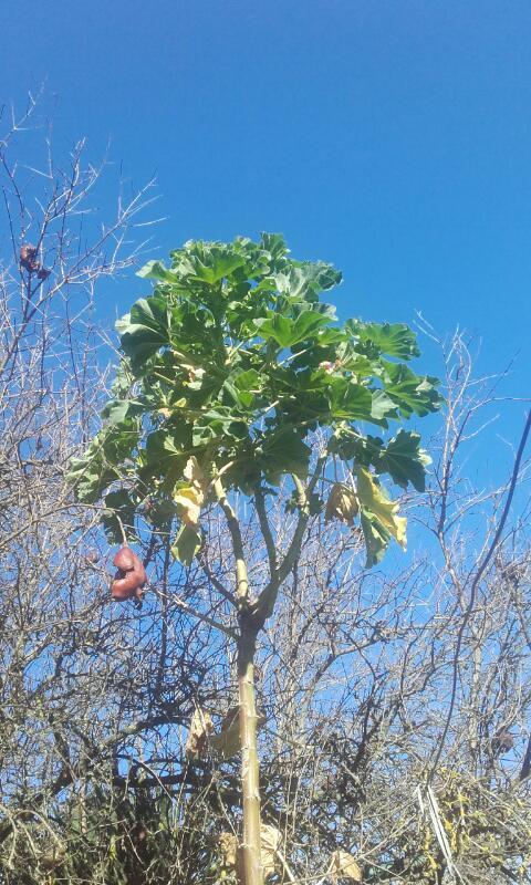 Malva arborea (= Malva dendromorpha) - mauve en arbre Rps20154