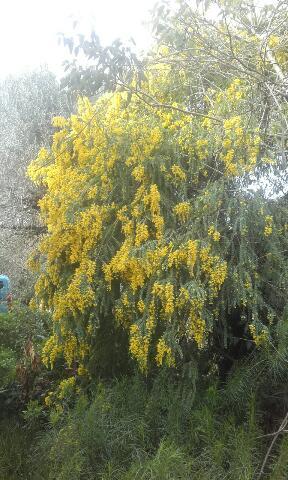 Acacia vestita - mimosa Sainte-Hélène Rps20156