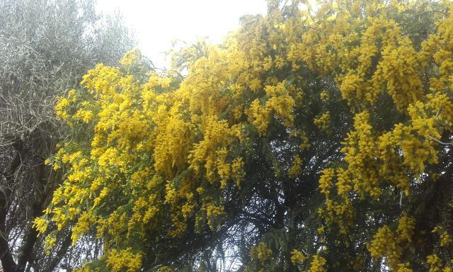 Acacia vestita - mimosa Sainte-Hélène Rps20157