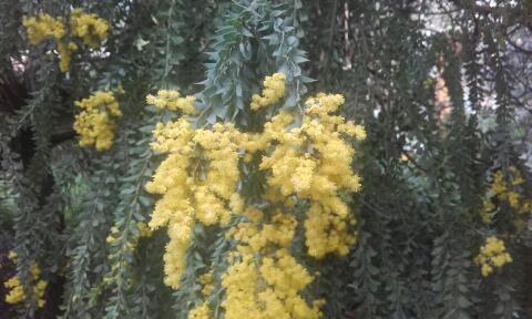 Acacia vestita - mimosa Sainte-Hélène Rps20158