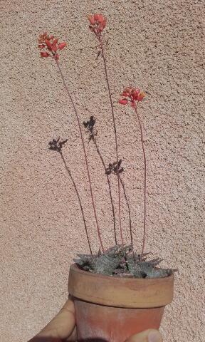 Aloe descoingsii Rps20161