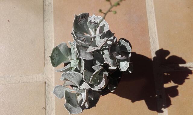 Kalanchoe rhombopilosa  Rps20165