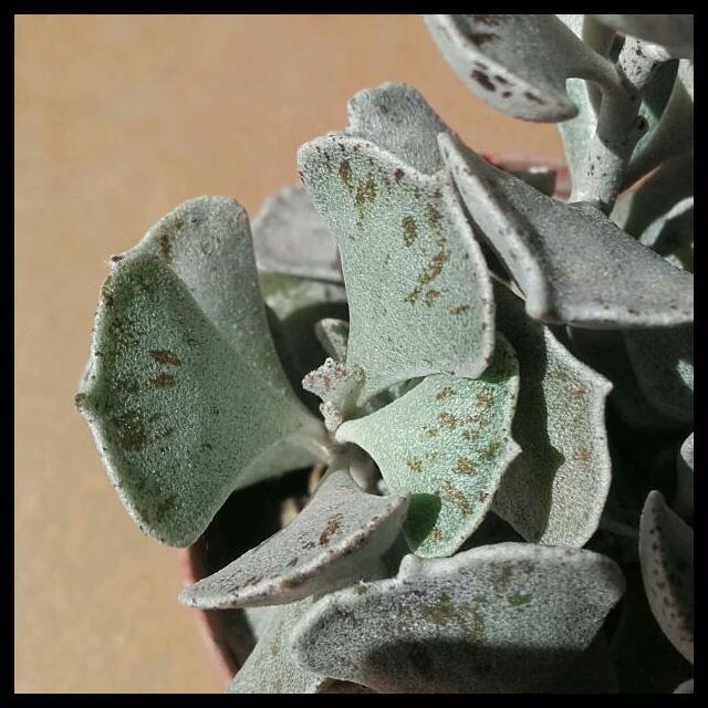 Kalanchoe rhombopilosa  Rps20166