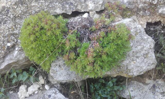 Saxifraga fragosoi (= Saxifraga continentalis) - saxifrage continentale Rps20198