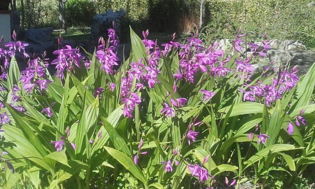 Bletilla striata - orchidée du Japon - Page 3 Rps20201