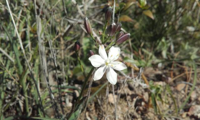 Simethis mattiazzii - phalangère à feuilles planes Rps20234