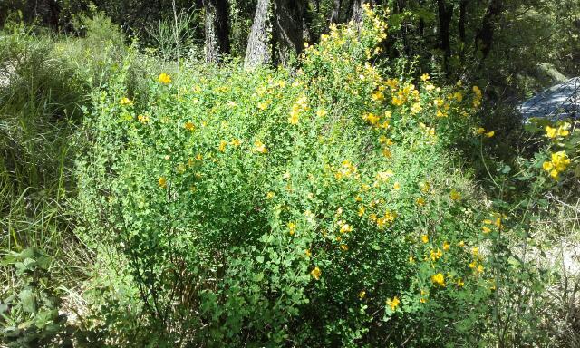 Cytisophyllum sessilifolium (= Cytisus sessilifolius) - cytise à feuilles sessiles  Rps20239