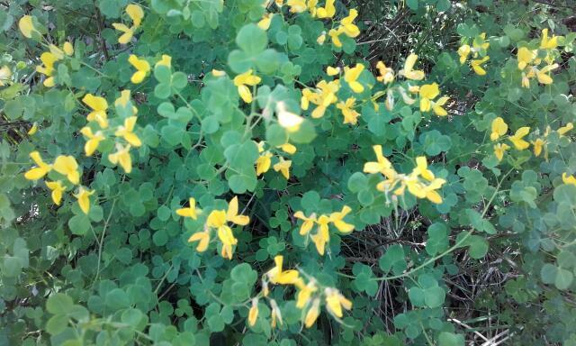Cytisophyllum sessilifolium (= Cytisus sessilifolius) - cytise à feuilles sessiles  Rps20240