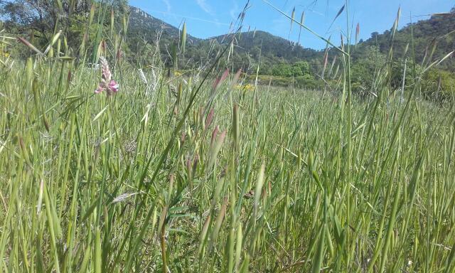 Onobrychis viciifolia - sainfoin, esparcette Rps20245