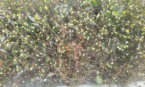Trifolium campestre - trèfle des champs, trèfle jaune Rps20269