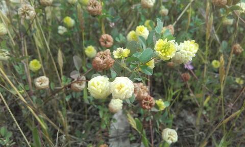Trifolium campestre - trèfle des champs, trèfle jaune Rps20270