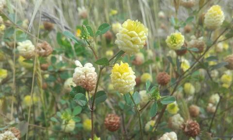 Trifolium campestre - trèfle des champs, trèfle jaune Rps20271