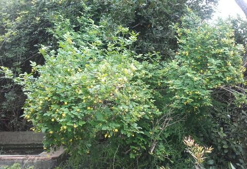 Jasminum humile (var. revolutum) Rps20279