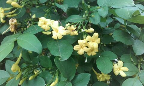 Jasminum humile (var. revolutum) Rps20280