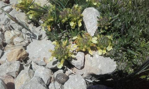 Teucrium montanum - germandrée des montagnes  Rps20345